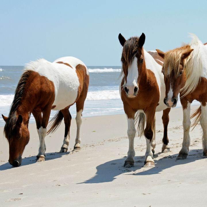 Wild horses on Assateague Island beach